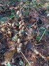 pinecones-on-ground